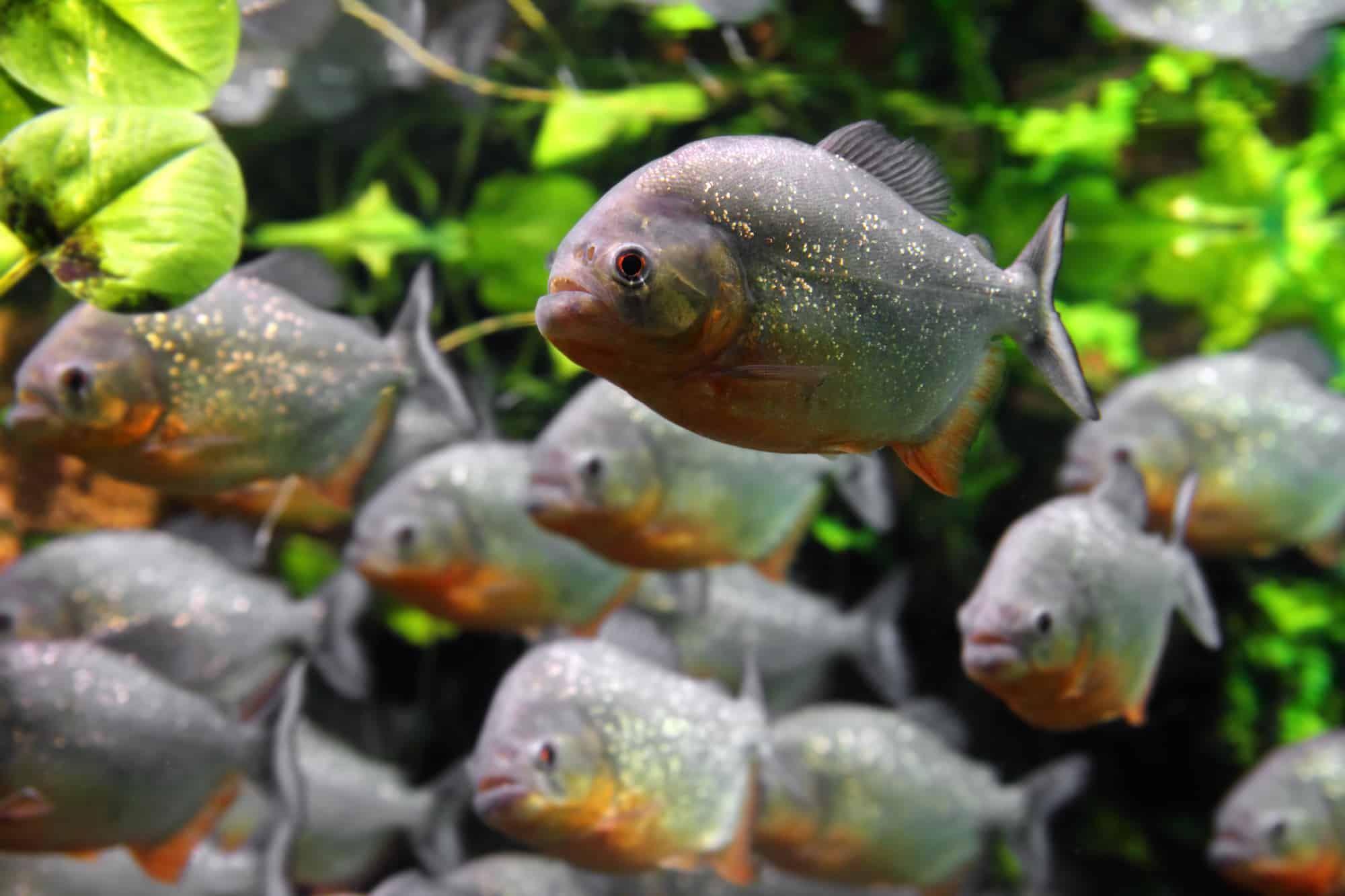 How Much Does it Cost to Buy a Piranha?